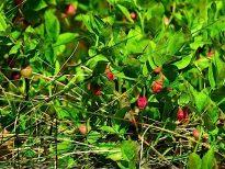 Heidelbeere (Vaccinium myrtillus)