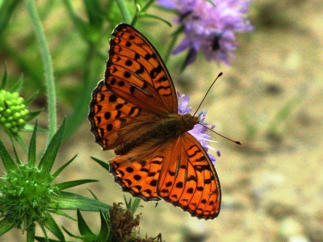 Schmetterlinge im Sierningbachtal bei Zwettl