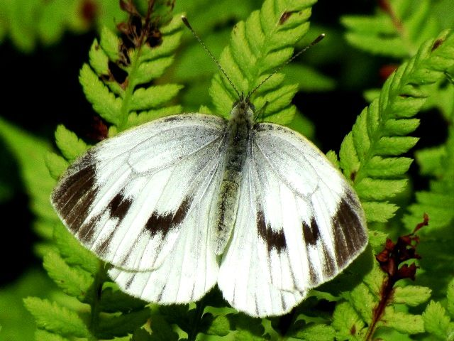 Schmetterling 2