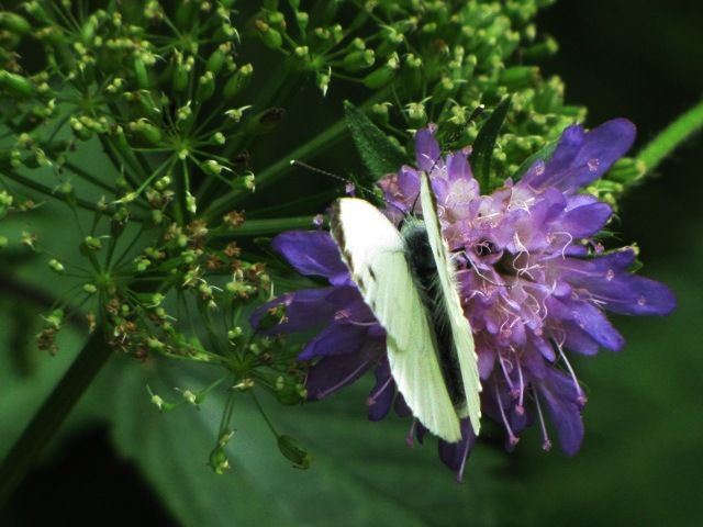 Schmetterling 7