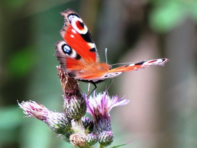 Schmetterling 8