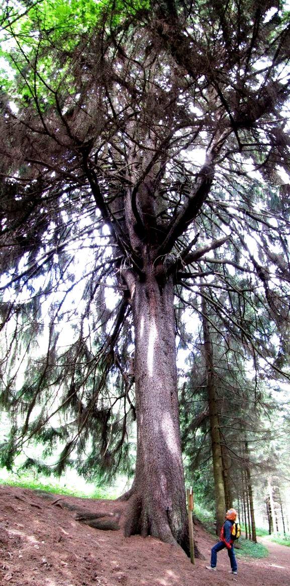 Die größte Fichte des Waldviertels