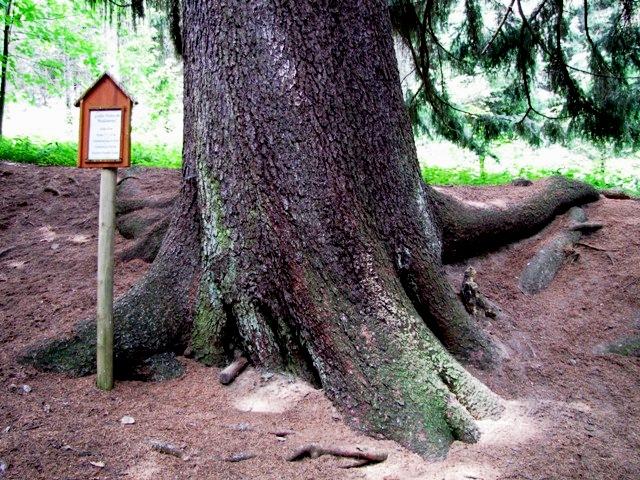 Größte Fichte des Waldviertels