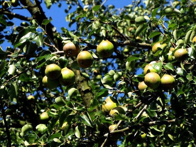Ein Birnenbaum