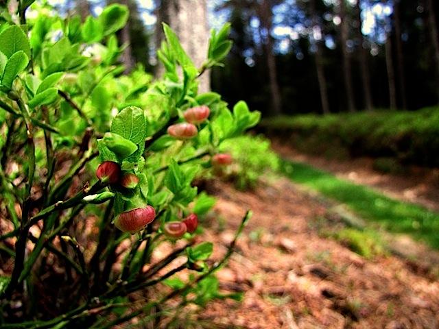 Preißelbeere (Vaccinium vitis-idaea)