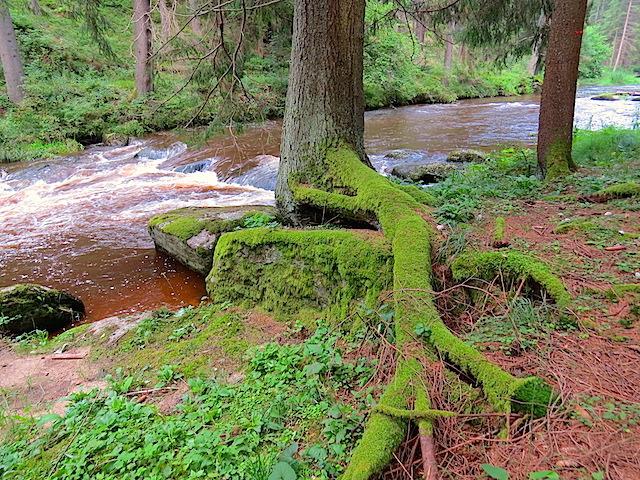 Uferbaum