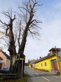 Der älteste Baum